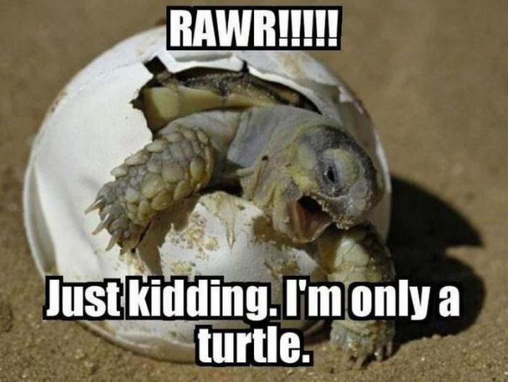 "85 Happy Memes - ""RAWR!!!!! Just kidding. I'm only a turtle."""