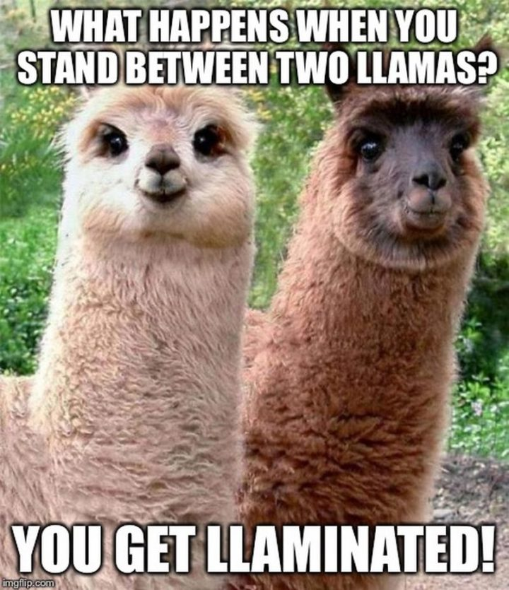 "85 Happy Memes - ""What happens when you stand between two llamas? You get llaminated!"""