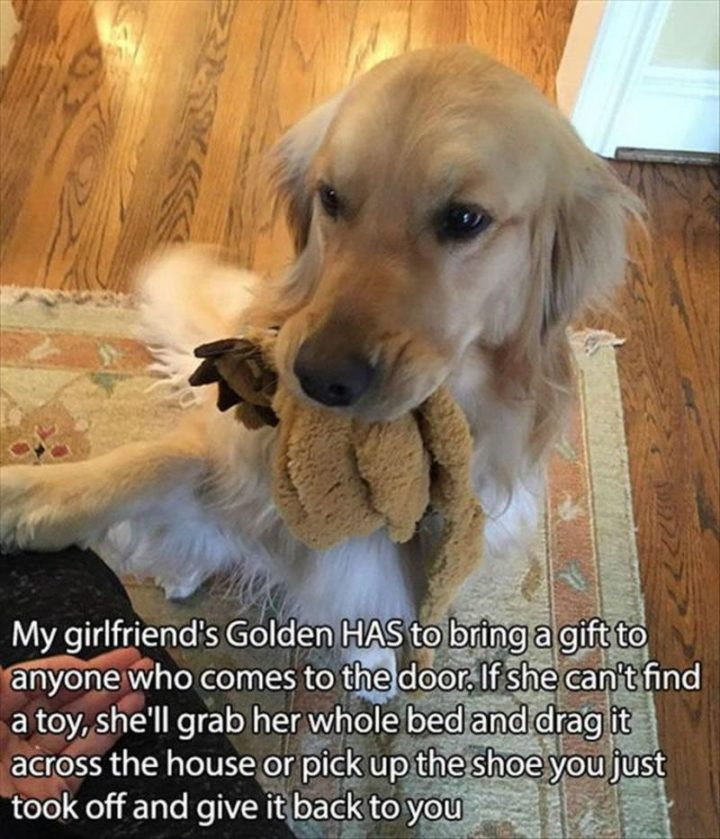 "85 Happy Memes - ""My girlfriend's Golden HAS to bring a gift to anyone who comes to the door. If she can't find a toy, she'll grab her whole bed and drag it across the house or pick up the shoe you just took off and give it back to you."""