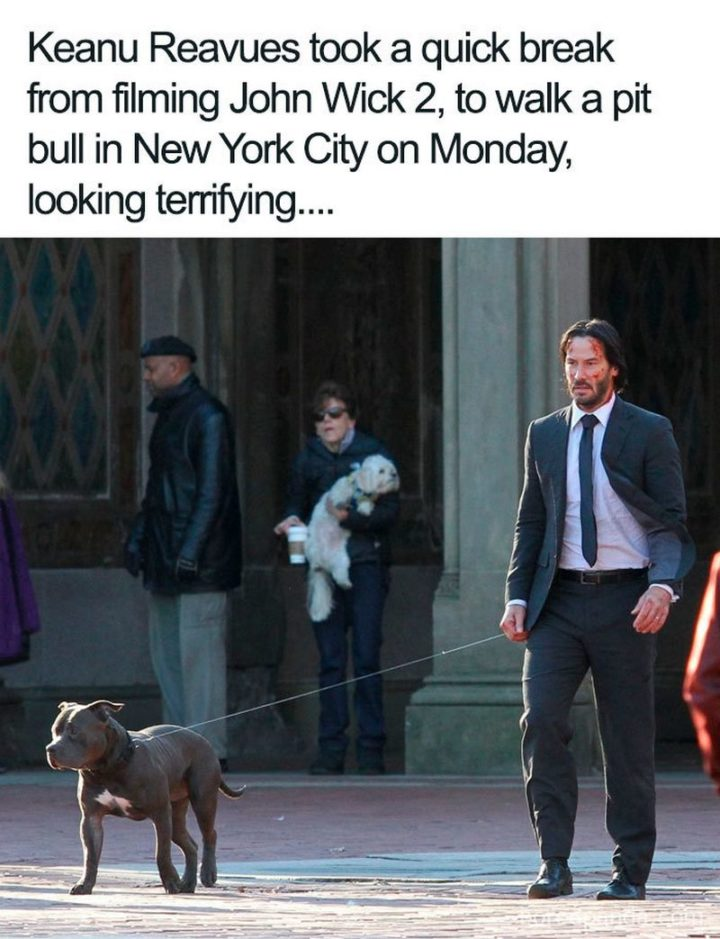 "57 Keanu Reeves Memes - ""Keanu Reeves took a quick break from filming John Wick 2, to walk a pit bull in New York City on Monday, looking terrifying..."""