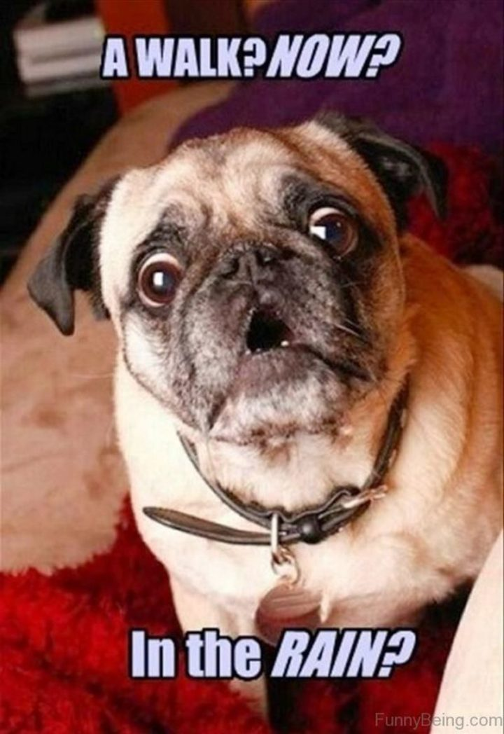 """101 Cute Pug Memes - """"A walk? Now? In the rain?"""""""