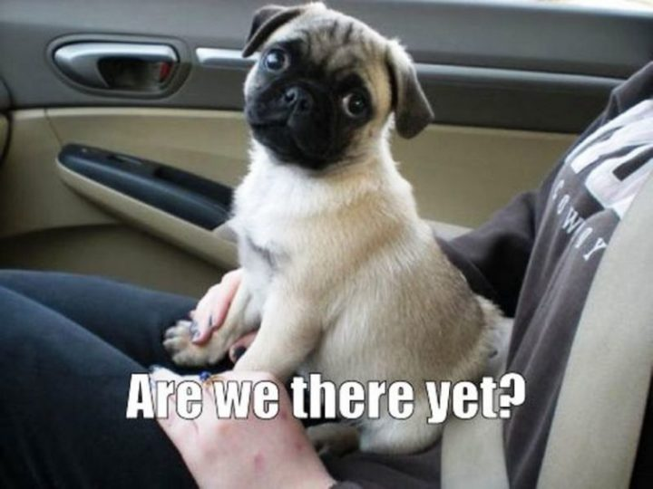 "101 Cute Pug Memes - ""Are we there yet?"""