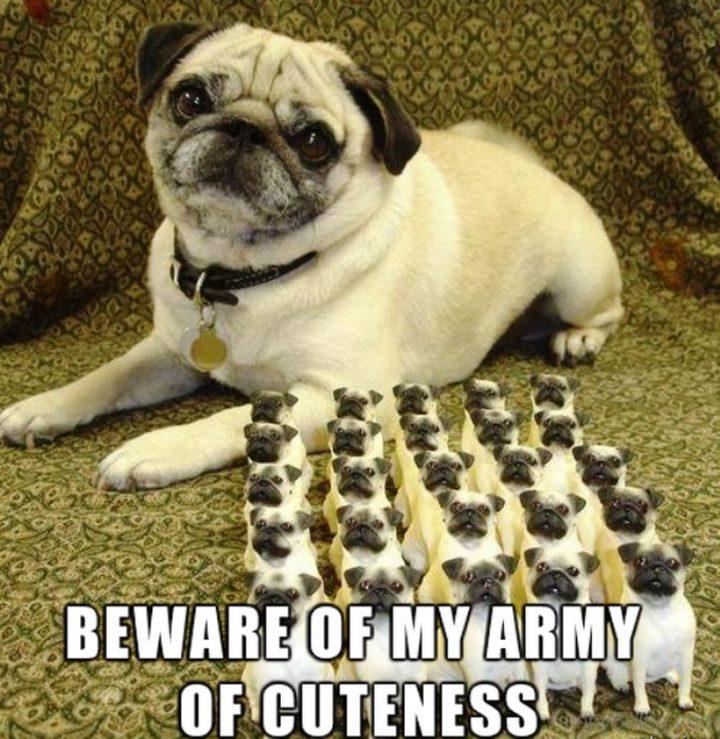 """101 Cute Pug Memes - """"Beware of my army of cuteness."""""""