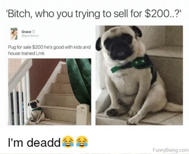 "101 Cute Pug Memes - ""Me: Pug for sale $200. He's good with kids and house trained. Let me know. Pug: Who you trying to sell for $200...?"""