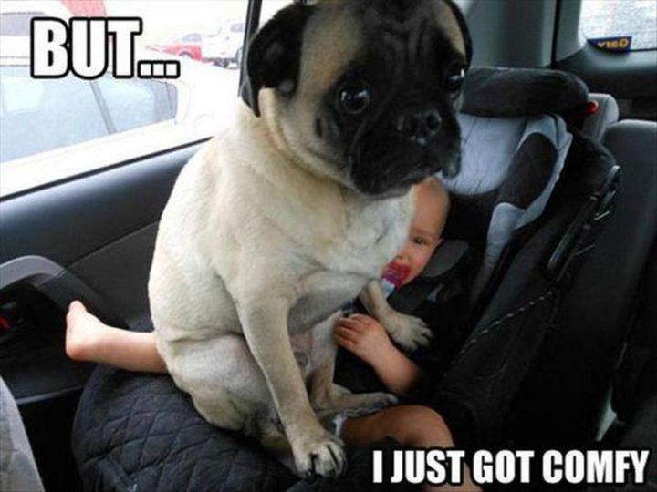 """101 Cute Pug Memes - """"But...I just got comfy."""""""