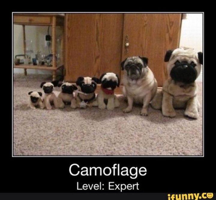 "101 Cute Pug Memes - ""Camoflage. Level: Expert."""