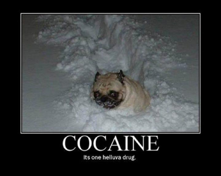 """101 Cute Pug Memes - """"Cocaine. It's one helluva drug."""""""