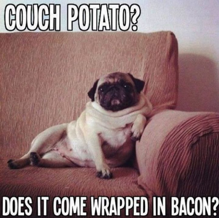 "101 Cute Pug Memes - ""Couch potato? Does it come wrapped in bacon?"""
