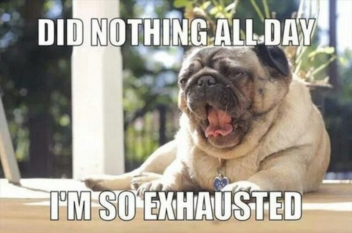 "101 Cute Pug Memes - ""Did nothing all day. I'm so exhausted."""