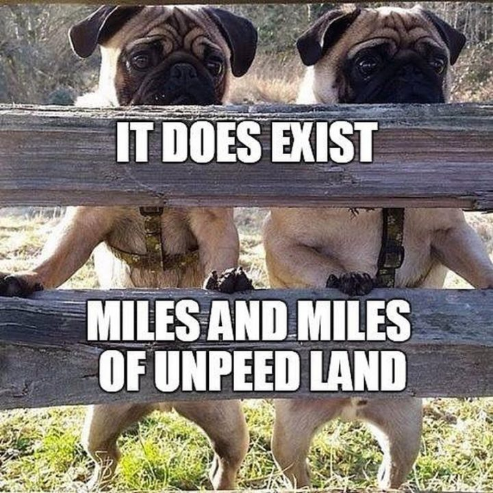"101 Cute Pug Memes - ""It does exist. Miles and miles of unpeed land."""