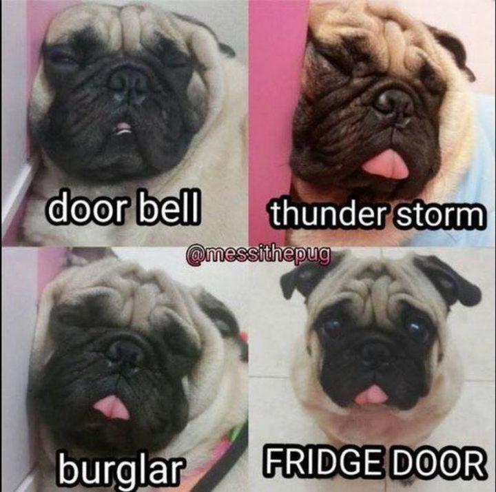 """101 Cute Pug Memes - """"Door bell. Thunder storm. Burglar. Fridge door."""""""