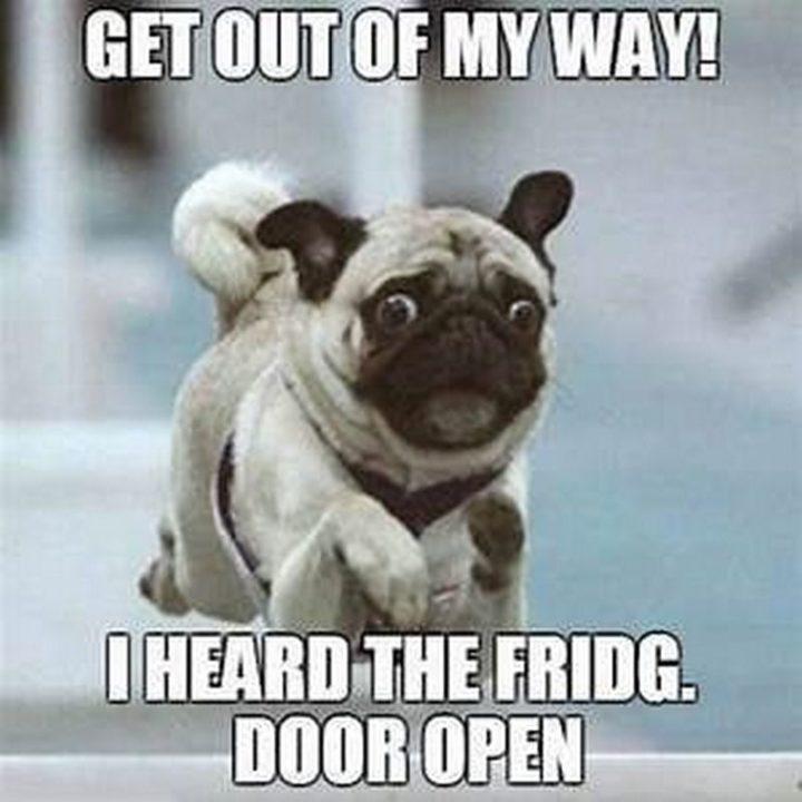 "101 Cute Pug Memes - ""Get out of my way! I heard the fridge door open."""