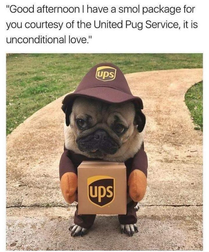 "101 Cute Pug Memes - ""Good afternoon, I have a smol package for you courtesy of the United Pug Service, it is unconditional love."""