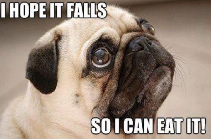 """101 Cute Pug Memes - """"I hope it falls so I can eat it!"""""""