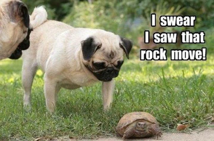 "101 Cute Pug Memes - ""I swear I saw that rock move!"""