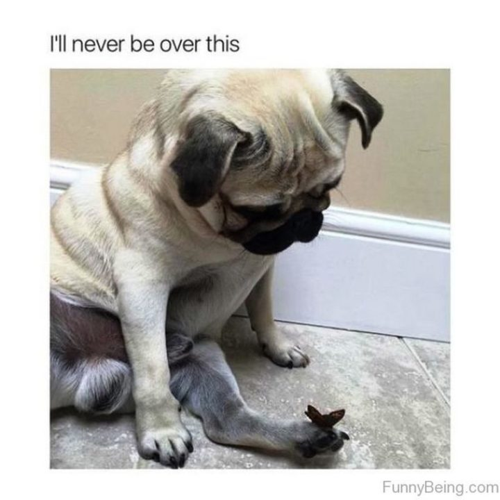 "101 Cute Pug Memes - ""I'll never be over this."""