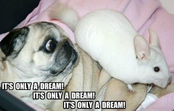 "101 Cute Pug Memes - ""It's only a dream! It's only a dream! It's only a dream!"""
