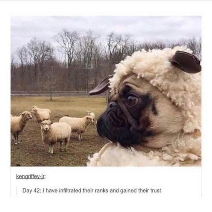 "101 Cute Pug Memes - ""Day 42: I have infiltrated their ranks and gained their trust."""