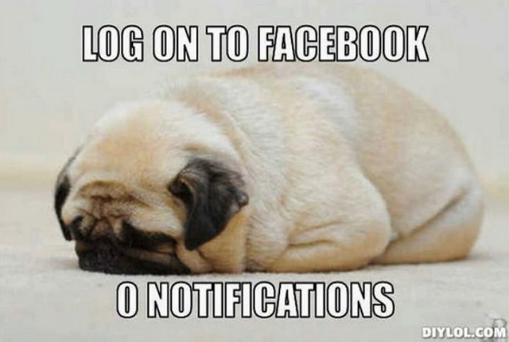 "101 Cute Pug Memes - ""Log on to Facebook. 0 notifications."""