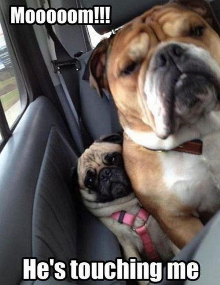 "101 Cute Pug Memes - ""Mooooom!!! He's touching me."""