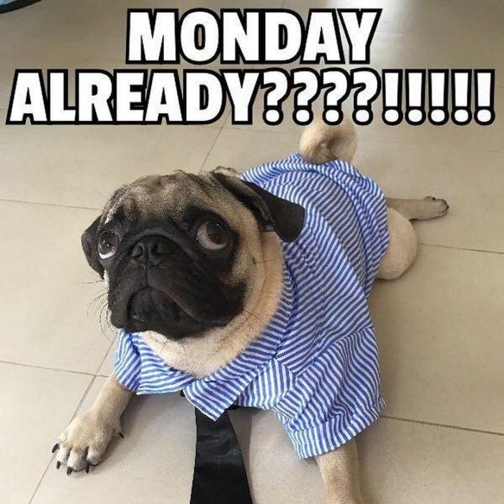 "101 Cute Pug Memes - ""Monday already????!!!!!"""
