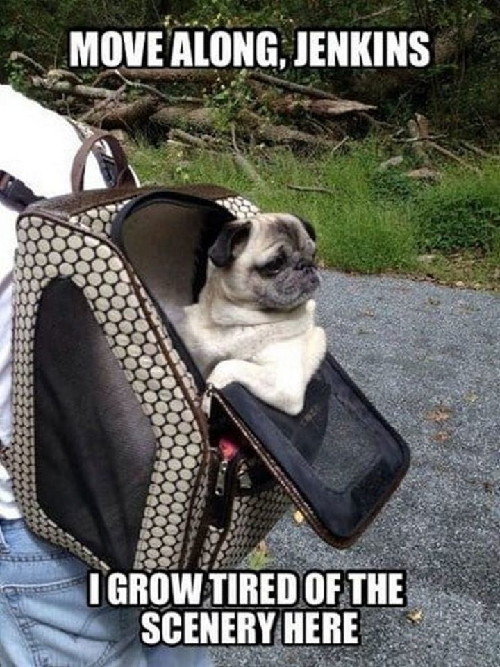 "101 Cute Pug Memes - ""Move along, Jenkins. I grow tired of the scenery here."""