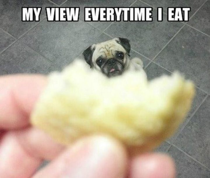 "101 Cute Pug Memes - ""My view every time I eat."""
