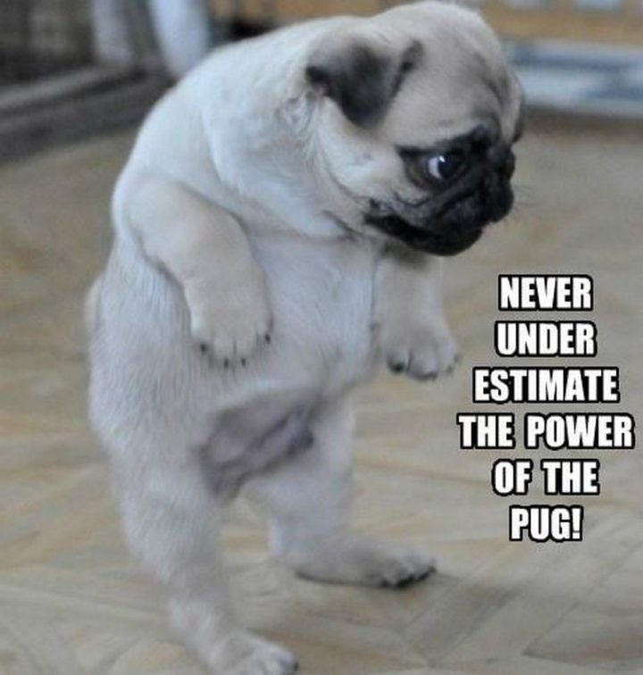 "101 Cute Pug Memes - ""Never under estimate the power of the pug!"""
