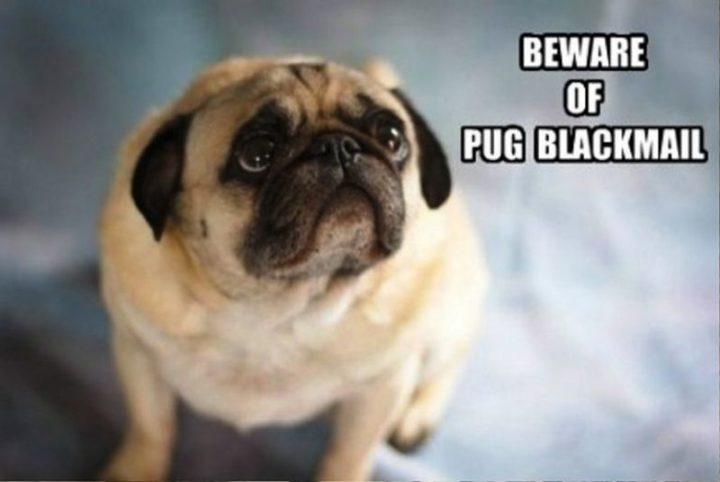 "101 Cute Pug Memes - ""Beware of pug blackmail."""