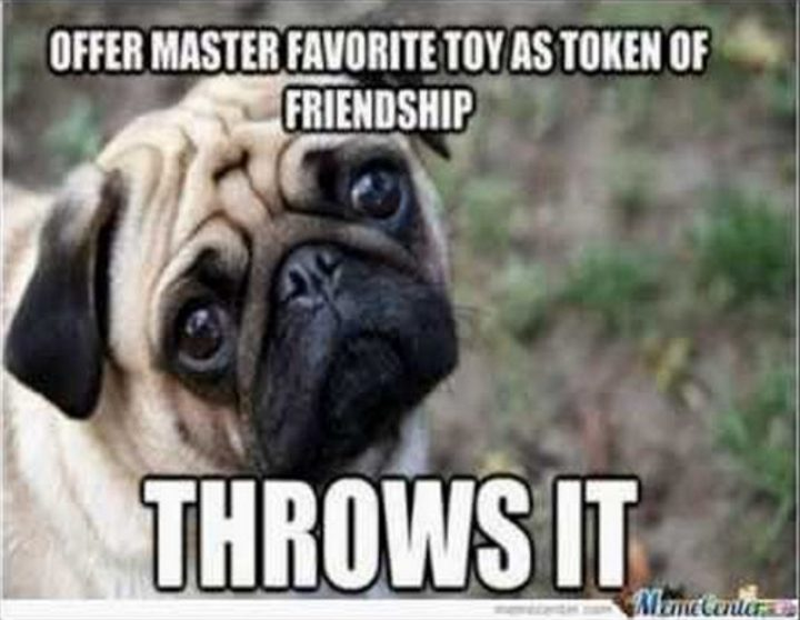 "101 Cute Pug Memes - ""Offer master favorite toy as token of friendship. Throws it."""