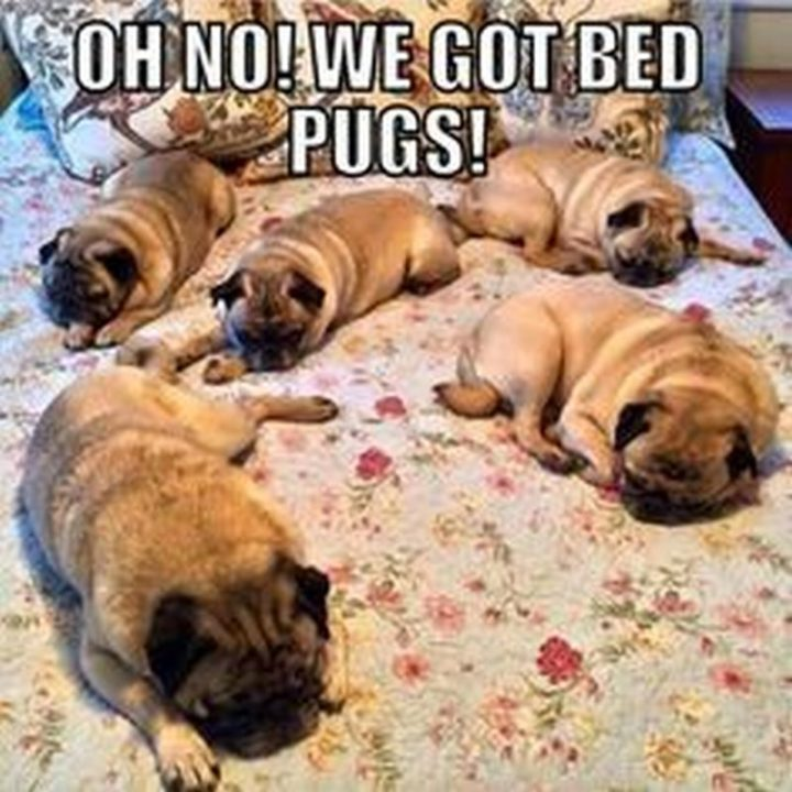 "101 Cute Pug Memes - ""Oh no! We got bed pugs!"""
