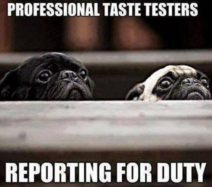 "101 Cute Pug Memes - ""Professional taste testers reporting for duty."""
