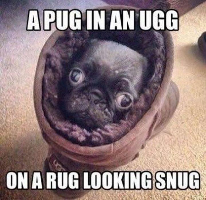 "101 Cute Pug Memes - ""A pug in an UGG on a rug looking snug."""
