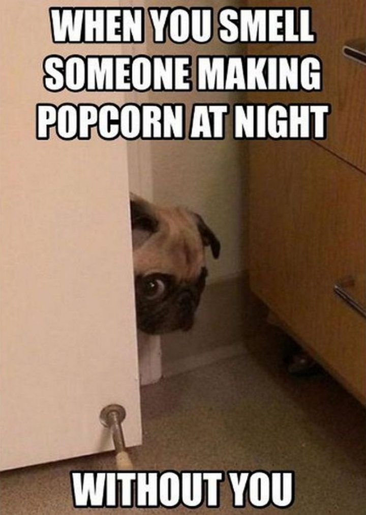 "101 Cute Pug Memes - ""When you smell someone making popcorn at night without you."""
