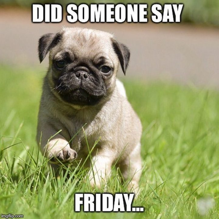 "101 Cute Pug Memes - ""Did someone say friday..."""