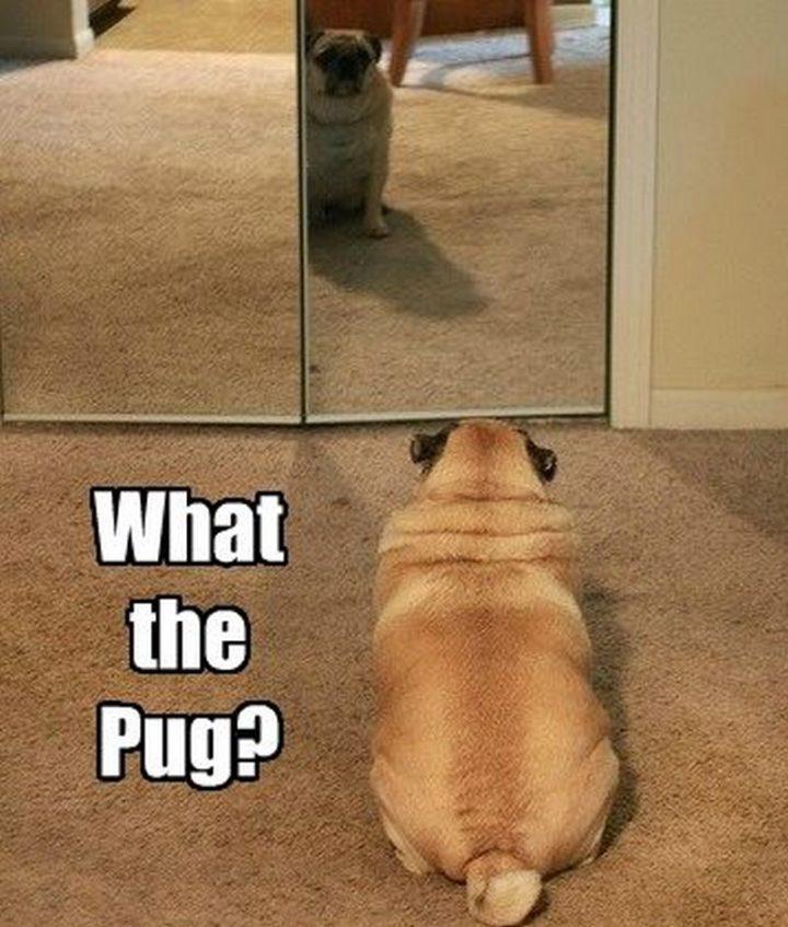 """101 Cute Pug Memes - """"What the pug?"""""""