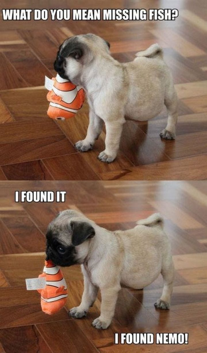 "101 Cute Pug Memes - ""What do you mean missing fish? I found it. I found Nemo!"""