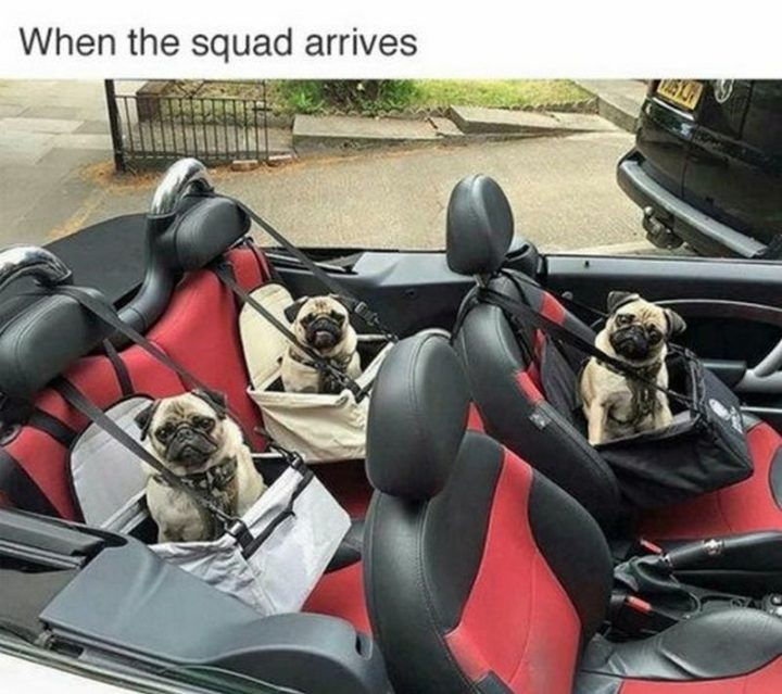 "101 Cute Pug Memes - ""When the squad arrives."""