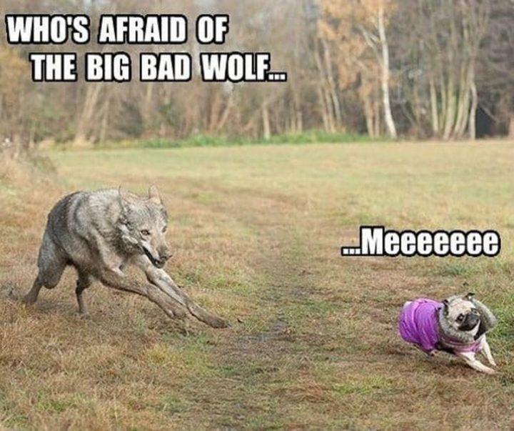"""101 Cute Pug Memes - """"Who's afraid of the big bad wolf...Meeeeeee."""""""