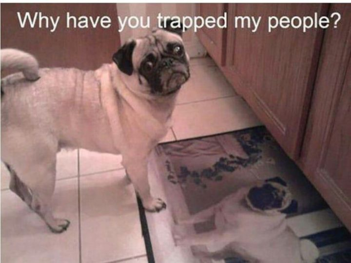 "101 Cute Pug Memes - ""Why have you trapped my people?"""
