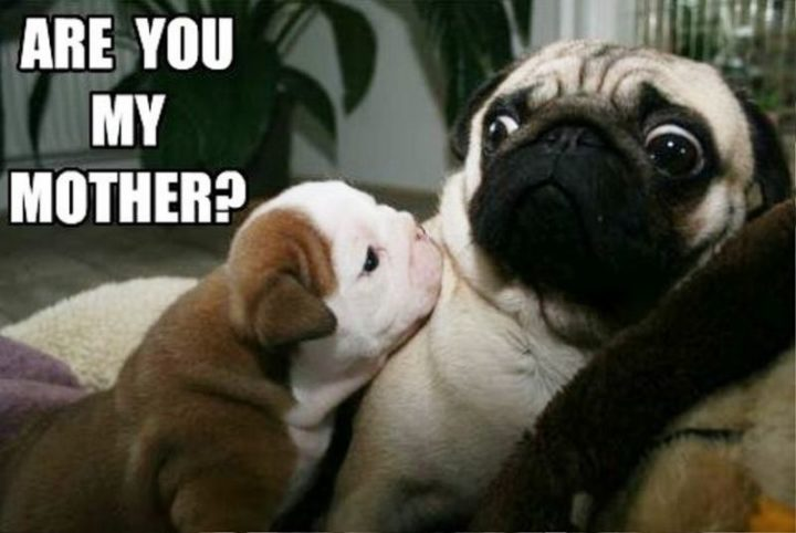 "101 Cute Pug Memes - ""Are you my mother?"""