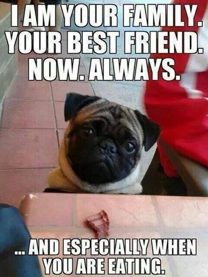 "101 Cute Pug Memes - ""I am your family. Your best friend. Now. Always."""