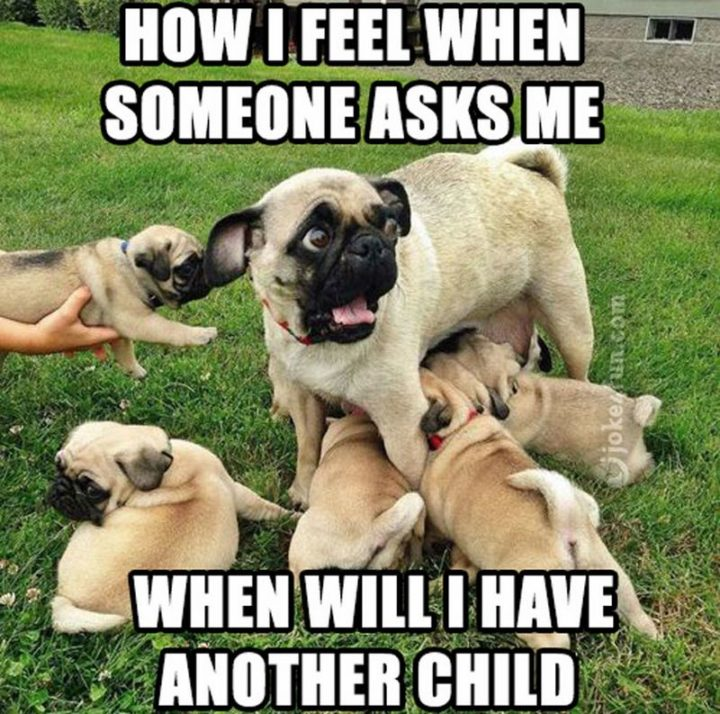"101 Cute Pug Memes - ""How I feel when someone asks me when I will have another child."""