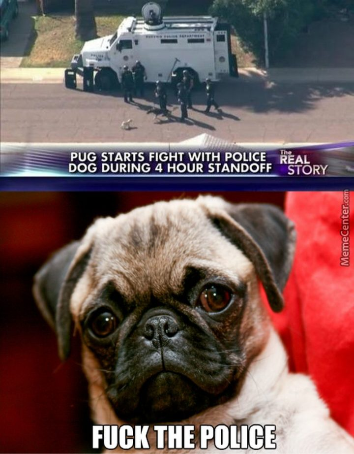 "101 Cute Pug Memes - ""Pug starts fight with police dog during 4 hour standoff. Screw the police."""