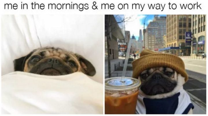 "101 Cute Pug Memes - ""Me in the morning and me on my way to work."""