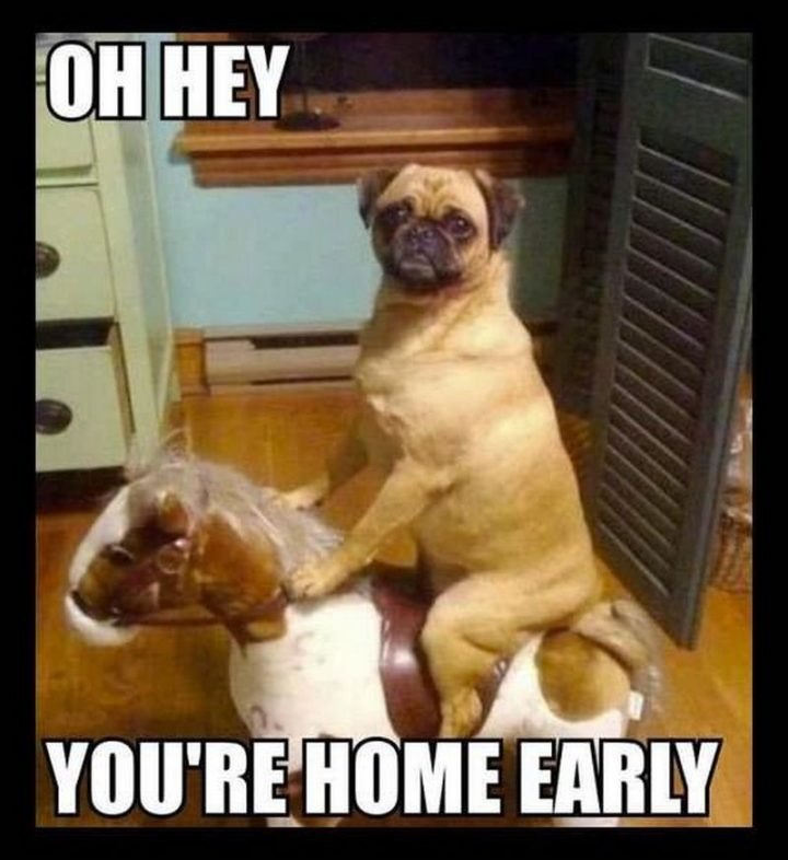 "101 Cute Pug Memes - ""Oh hey, you're home early."""