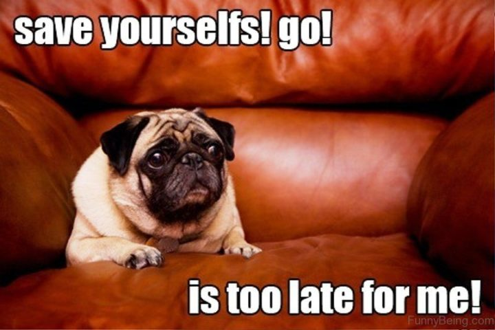 "101 Cute Pug Memes - ""Save yourselfs! Go! Is too late for me!"""