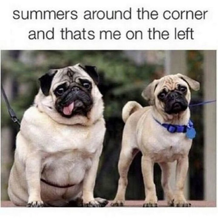"101 Cute Pug Memes - ""Summers around the corner and that's me on the left."""