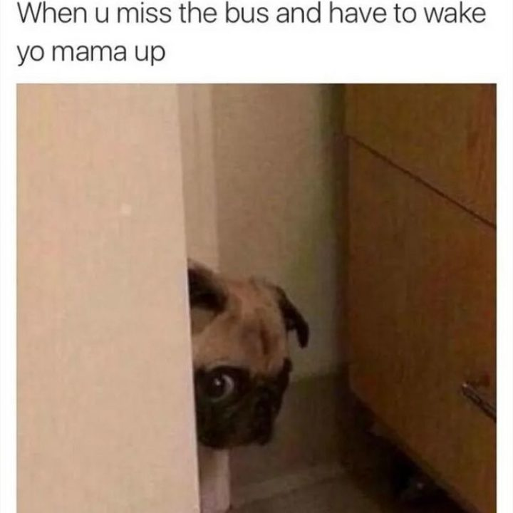 "101 Cute Pug Memes - ""When u miss the bus and have to wake yo mama up."""