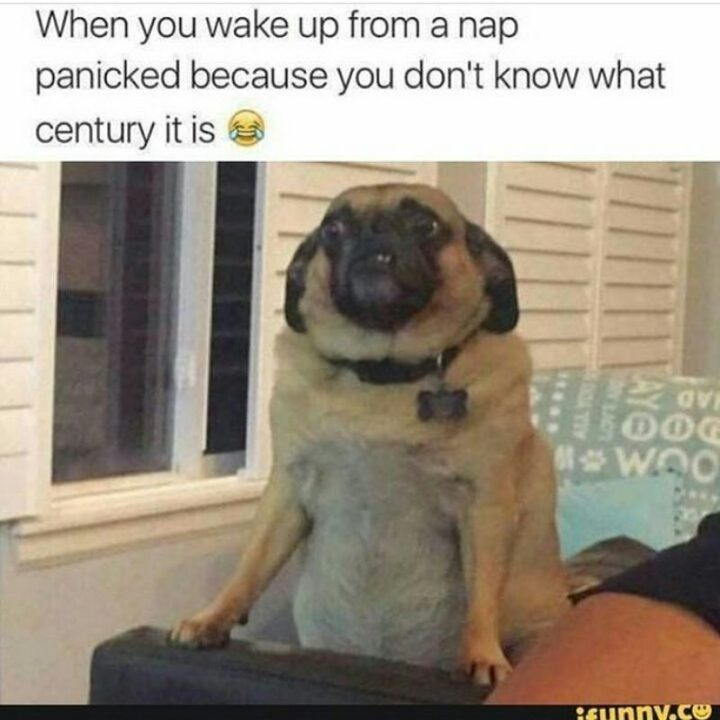 "101 Cute Pug Memes - ""When you wake up from a nap panicked because you don't know what century it is."""
